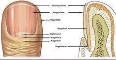 Deine Fingernägel können dir wertvolle Gesundheitswarnungen signalisieren, sowie vorhandene, schwere Krankheiten anzeigen. Achte auf die Kurven, Rillen und Löcher. Prüfe, wie dick oder dünn sie sind und ob deine Nägel beschädigt oder gebrochen sind. Notiere die Farbe der Nägel selbst, die Haut unter dem Nagel und die Haut um den Nagel herum. Haben deine Nägel schon