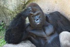 Human expressions of a Silverback gorilla Silverback Gorilla, Chimpanzee, Orangutan, Monkey See Monkey Do, Ape Monkey, Primates, Animals Of The World, Animals And Pets, Beautiful Creatures