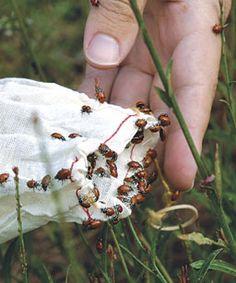 lady bugs in my garden!