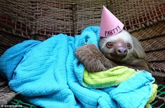 Slumber party: This sloth celebrates its birthday the only way it knows how - wrapped up in a cosy blanket