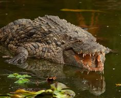 American Crocodile • Crocodylus acutus • #animal #reptile #crocodile #zoology #nature #wildlife #saurian #photo #photography #photoanimals #photographer #entomophotopassion