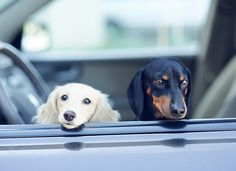 dachshunds in car