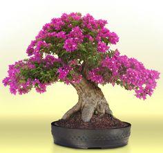 Bougainvillea bonsai