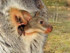 Wallaby Joey Emerges at Belgrade Zoo