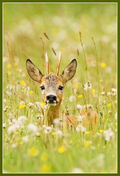 roe deer in field of dandelions - photographer Hennie van Heerden Beautiful Creatures, Animals Beautiful, Baby Animals, Cute Animals, Wild Animals, Animals Images, Oh Deer, Buck Deer, Animal 2