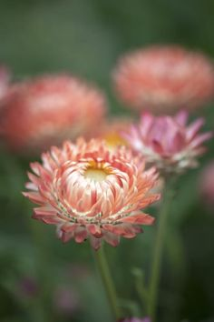 Helichrysum bracteatum, Salmon Rose Seeds from Chiltern Seeds - Chiltern Seeds Secure Online Seed Catalogue and Shop Shade Flowers, Orange Flowers, Cut Flowers, Colorful Flowers, Dried Flowers, Flower Farm, My Flower, Paper Daisy, Seed Catalogs