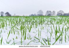 First green stalks sprouting through the snow; Thin snow cover on field with rising seed; Agriculture in winter time