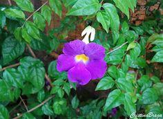 Tumbérgia arbustiva – Thumbergia erecta - Arbusto com Flores tubulares,  roxas com o centro amarelo ...