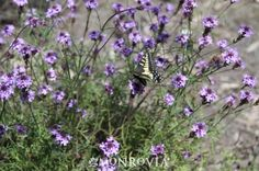 """De La Mina Verbena, Verbena Lilacina """"De La Mina"""" Perennial, evergreen. Likes full sun. Fast growing to 3' tall and wide. Attracts butterflies, is waterwise. Purple flowers spring through fall."""