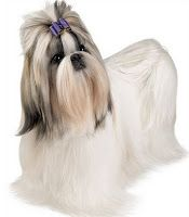 Shih Tzus: the spunky, lovable breed!