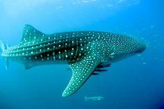 Schnorcheln mit Walhaien am Ningaloo Reef: kurze Ausfahrten zum größten Saumriff, grandiose Unterwasserwelt & seltene Begegnung mit einem Riesen-Mondfisch!