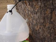 """How to Make Sycamore Syrup, Easy And Cheap 