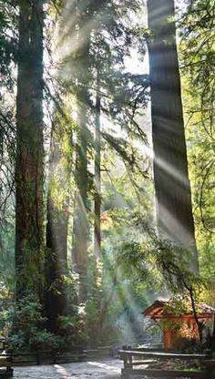 Muir Woods Ancient Forest near San Francisco, California, USA.