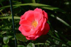 Ja sitten, Pernilla Poulsen – ruusu | Salainen puutarha – kukkakeitaamme Espoossa