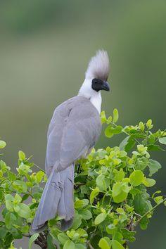 Go Away Bird - Grey Lourie  The Grey Go-away-bird, also known as Grey Lourie, Grey Loerie, or Kwêvoël, is a southern African bird of uniform grey with black beak and strikingly pink gape. Wikipedia