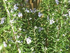 How to Use Rosemary In Your Cooking  several wonderful combinations here