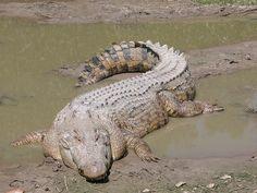 Crocodilo de água salgada, ou crocodilo marinho ou crocodilo poroso. O Crocodylos porosus é o maior réptil existente na atualidade, sendo encontrado na costa do Oceano Índico e Oceano Pacífico. Pode viver em rios, estuários e, como o nome indica, na região costeira.  Fotografia: Molley Ebersold. – Wikipédia, a enciclopédia livre.
