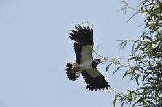 Nice flight of lapwing / Mooie vlucht van een kievit.