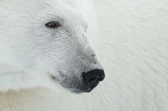 King of the Arctic - People often ask how close we get to the polar bears on our Svalbard tour. Well, that depends on the bears, and where they are. Luckily, polar bears are very inquisitive and often come to check us out. Either that, or they just want to eat us. Anyway, they regularly get very close, or we to them. Close enough for serious closeups - you can see our ship reflected in its eye.  - - -  If you would like to photograph these magnificent kings of the arctic before they're gone,...