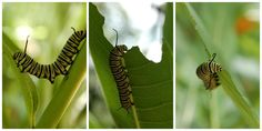 Results from a great photo shoot w/ a #monarch caterpillar in our Butterfly Habitat Garden outside @NMNH