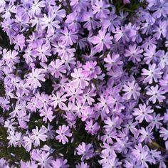 lila in de tuin