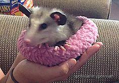 opossummypossum:      baby opossum getting comfy (x)     (via opossummypossum)