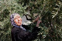 The Wonderful People of Jordan - Olive Harvest Experience.  Repin if you like the people of Jordan or Jordan is on your Bucket List!