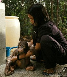 An orphaned orangutan at a sanctuary in Borneo. (Born to be Wild)