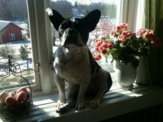 Lovely French Bulldog in window