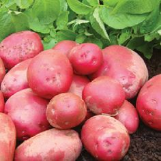 POTATO Red Duke of York 1.5kg Duke Of York, Organic Seeds, Fruits And Vegetables, Garden Plants, Potatoes, Plate, Red, Dishes, Fruits And Veggies