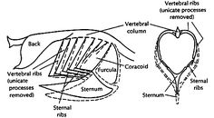 Intraosseous catheters can be placed in birds in either the ulna or bird respiratory system ccuart Images