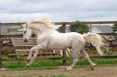I Love You Melody, 1996 Connemara Pony stallion by Idenoir.