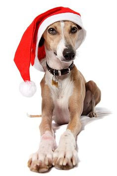Is it time for my guys to be our Christmas card theme again? This dog looks so great I might attempt it...