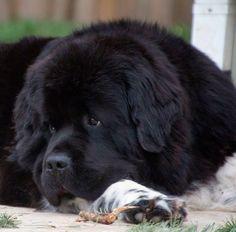 Landseer newfoundland dog Shellbea from Notta bear Newfoundlands in Hubbard oregon