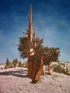 """Bristlecone I. 36"""" x 48"""" Oil on Canvas. About 36 hours to complete."""