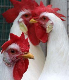 Chicken Combs