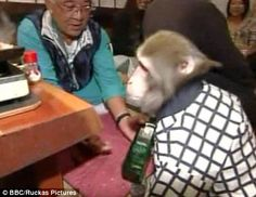 Yat-chan, older of the two, serves a customer.  Kayabukiya Tavern, a traditional 'sake house' north of Tokyo employs a pair of uniformed Japanese macaque. Owner Kaoru Otsuka, 63, originally kept the monkeys as household pets. Yat-chan and Fuku-chan, both certified by the local authorities to work, are tipped by customers with soya beans.