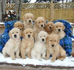 Golden Retriever puppies!