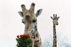 Henry the giraffe examines a Valentine's bunch of roses given to him by keepers at West Midlands Safari Park, Bewdley