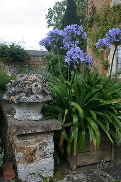 Urn with agapanthus...