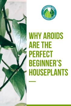 Are you looking to start your own houseplant collection? Discover why aroids are the perfect beginner's houseplants and the best care tips for aroids plants. Types Of Houseplants, Types Of Plants, House Plant Care, House Plants, Fiddle Leaf Fig Tree, Low Light Plants, Plant Guide, Spider Plants, Hardy Plants