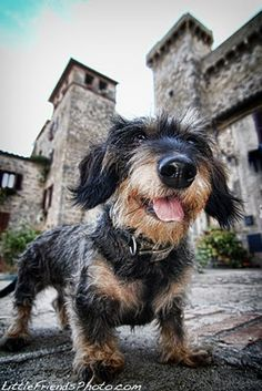 Dachshund storms the castle...