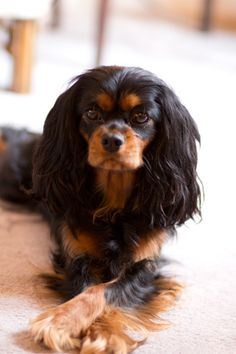 black and tan Cavalier King Charles Spaniel Cavs Speak Source by mmcaroline The post Cavs Speak appeared first on Dogs GP. King Charles Puppy, Cavalier King Charles Dog, King Charles Spaniel, Spaniel Puppies, Cocker Spaniel, I Love Dogs, Cute Dogs, Cavalier King Spaniel, Beautiful Dogs