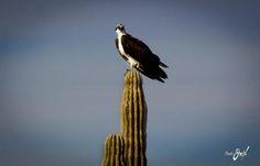Osprey on a cactus in San Carlos Sonora