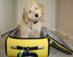 Bella Kai the Goldendoodle wants to go on a trip with you!