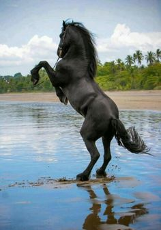 Friesian...look at the power and strength this horse has!