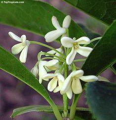 Osmanthus fragrans, Olea fragrans, Olea ovalis, Osmanthus longibracteatus, Osmanthus macrocarpus