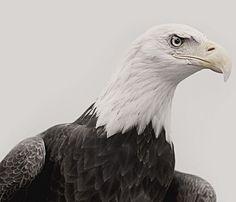 Bald Eagle Print - Americana - Shops Uncovet
