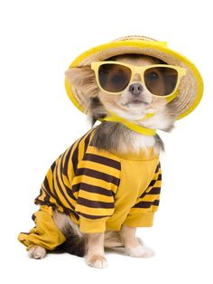 Check out the best Chihuahua Halloween costumes to inspire from! Cute Chihuahua, Chihuahua Puppies, Dogs And Puppies, Chihuahuas, Dog Halloween Costumes, Pet Costumes, Mellow Yellow, Best Dogs, Cute Dogs