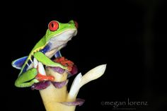Flower Frog - Red-Eyed Tree Frog  Costa Rica